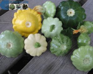 Bán hạt giống bí đĩa bay mini