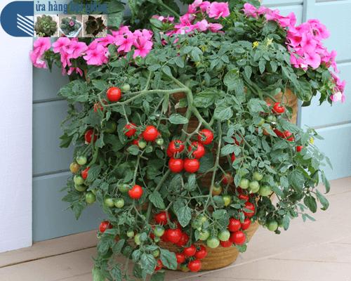 Cửa hàng bán hạt giống cà chua bi đỏ chùm lùn