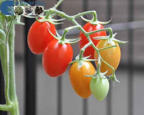 Cửa hàng bán hạt giống cà chua bi nhót