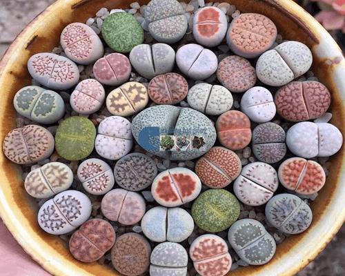 Cửa hàng bán hạt giống cây thạch lan đá - Đá sống
