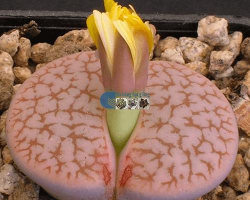 Hạt giống cây hoa thạch lan đá sống nở hoa