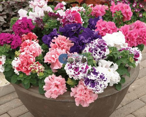 Cửa hàng bán hạt giống hoa dạ yến thảo kép mix