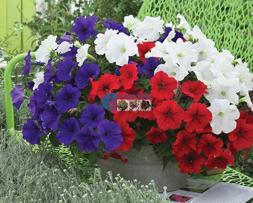 Cửa hàng bán hạt giống hoa dạ yến thảo mix