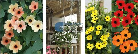 Bán hạt giống hoa ánh dương mix
