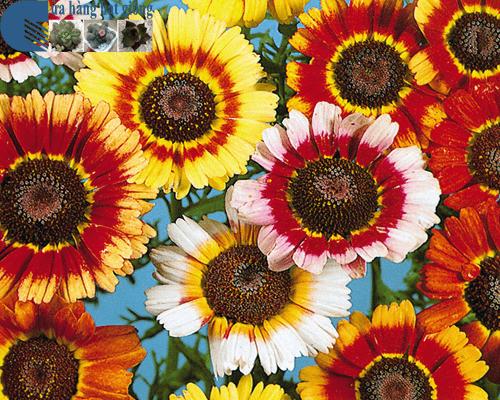 Cửa hàng bán hạt giống hoa cúc chi mix