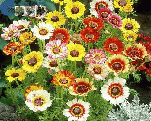 Cửa hàng bán hạt giống hoa cúc chi hỗn hợp mix