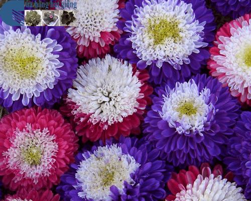 Cửa hàng Bán hạt giống hoa cúc đài loan mix