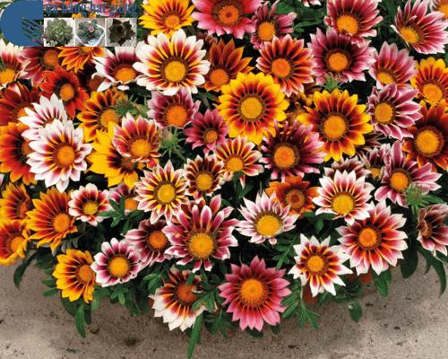 Cửa hàng bán hạt giống hoa cúc huân chương mix