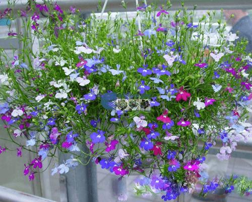 Cửa hàng Bán hạt giống hoa cúc lobelia mix