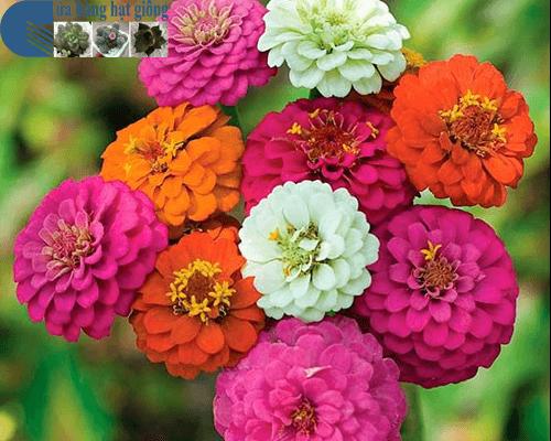 Bán hạt giống hoa cúc nhi nha cao mix