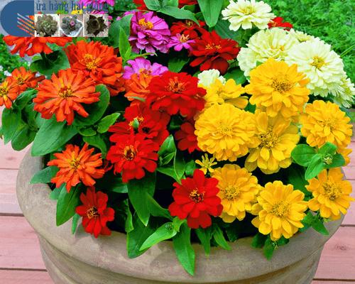 Bán hạt giống hoa cúc nhi nha lùn mix