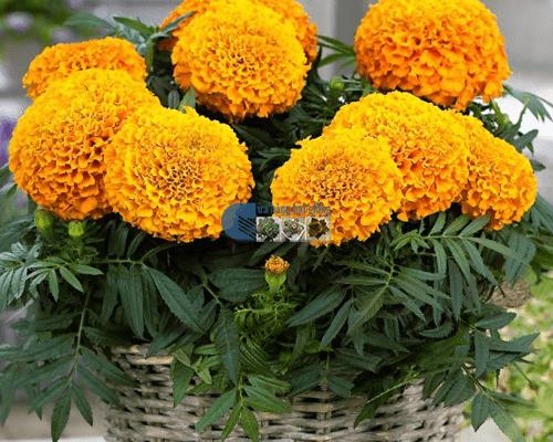 Cửa hàng bán hạt giống hoa cúc vạn thọ mỹ