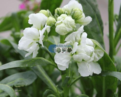 Bán hạt giống hoa đậu lupin mix