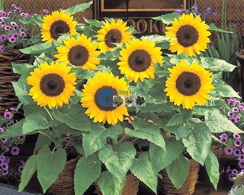 Bán hạt giống hoa hướng dương bụi lùn