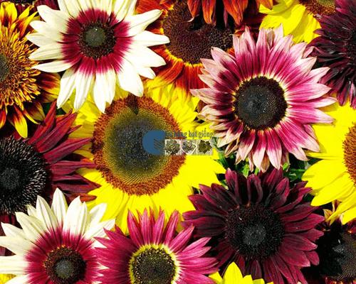 Bán hạt giống hoa hướng dương mix