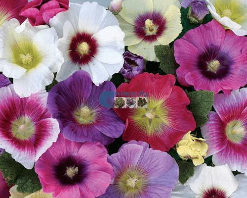 Cửa hàng Bán hạt giống hoa mãn đình hồng mix