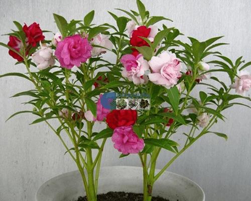 Bán hạt giống hoa móng tay kép mix