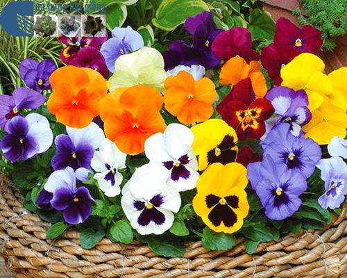 Cửa hàng bán hạt giống hoa pansy mix