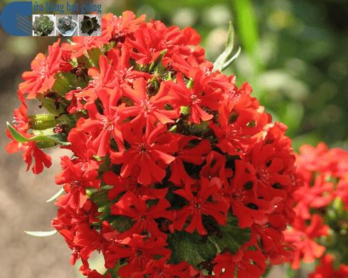Cửa hàng Bán hạt giống hoa thu lá đỏ