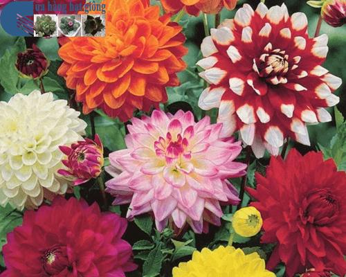 Cửa hàng bán hạt giống hoa thược dược mix
