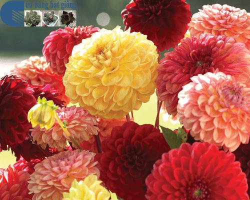 Cửa hàng bán hạt giống hoa thược dược tổ ong mix