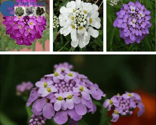 Bán hạt giống hoa tổ ong mix