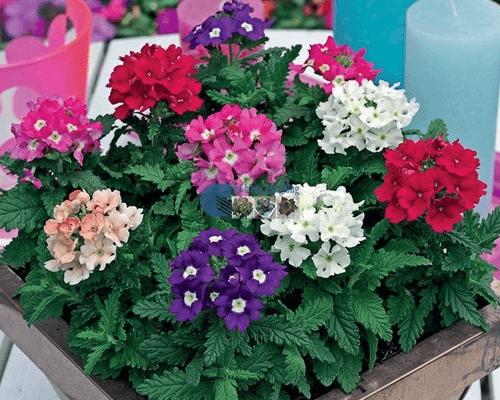 Cửa hàng bán hạt giống hoa vân anh mix