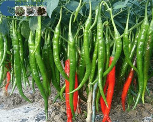 Cửa hàng Bán hạt giống ớt chỉ địa