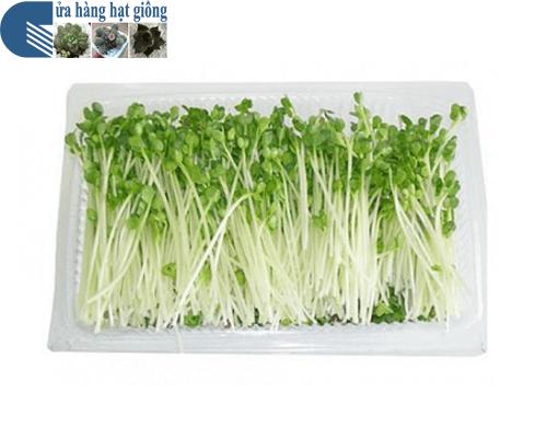 Cửa hàng bán hạt giống rau mầm cải xanh đà lạt