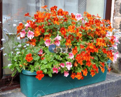 Cửa hàng Bán hạt giống hoa cúc nemesia mix