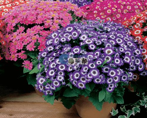 Cửa hàng Bán hạt giống hoa cúc lọ lem mix