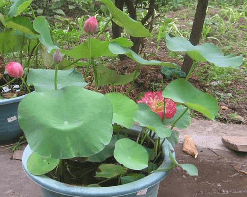 Sen mini nhật 8 màu nở hoa