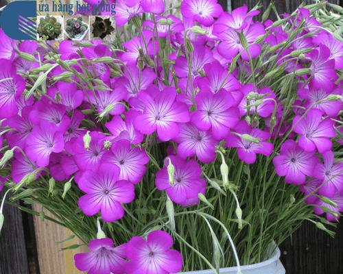 Cửa hàng bán hạt giống hoa cẩm chướng lúa mạch