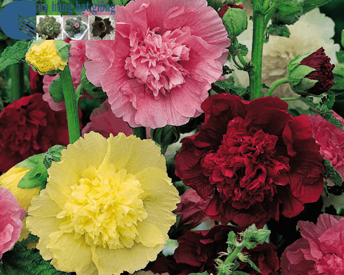 Cửa hàng bán hạt giống hoa mãn đình hồng kép mix