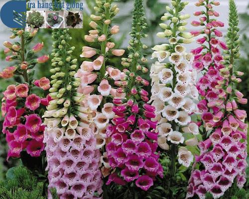 Cửa hàng bán hạt giống hoa mao địa hoàng kép mix