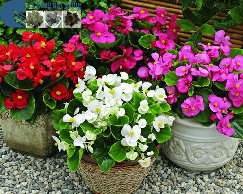 Cửa hàng bán hạt giống hoa thu hải đường đơn mix