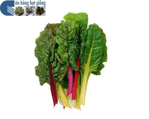 Cửa hàng bán hạt giống rau cải 7 sắc cầu vòng