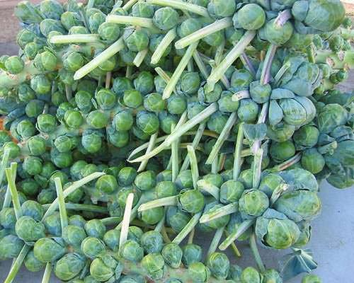 Hướng dẫn trồng bắp cải mini