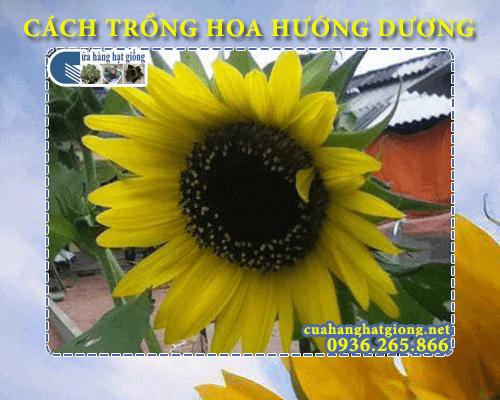 Cách trồng hoa hướng dương từ hạt tại nhà