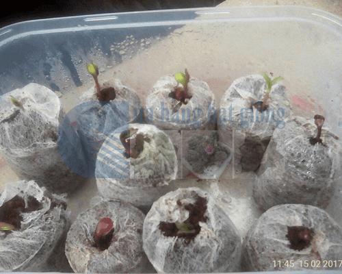 Cách ươm hạt giống hoa hướng dương sử dụng viên nén