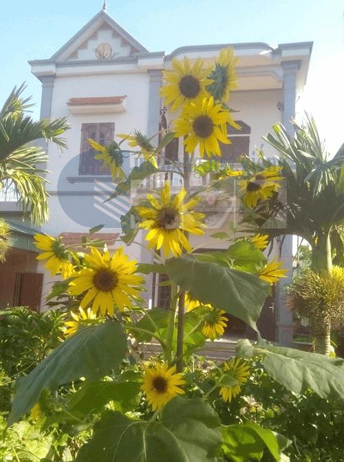 Chăm sóc hoa hướng dương nở nhiều hoa trên một cây