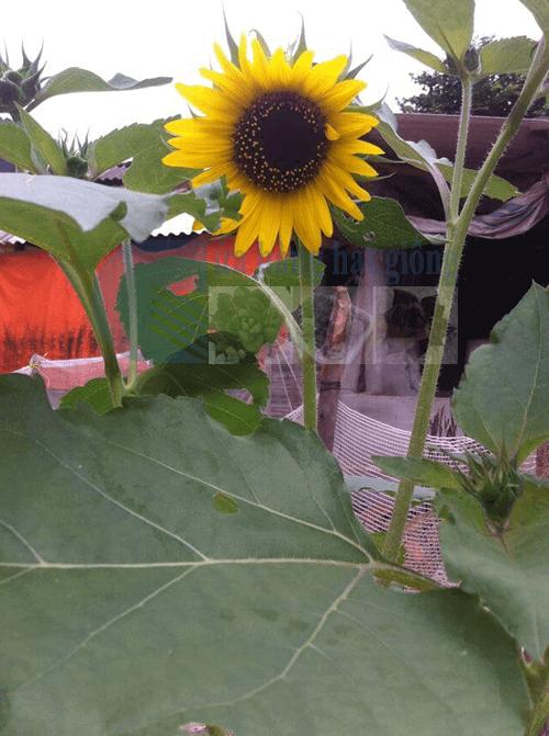 Hình ảnh hoa hướng dương đẹp