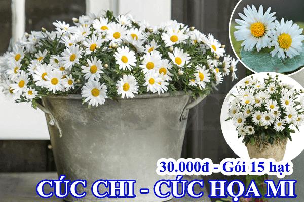 Hạt giống hoa cúc họa mi trắng Cửa hàng hạt giống Mỹ Đình