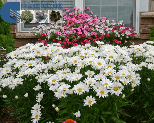 Bán hạt giống hoa cúc họa mi cúc chi trắng