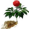 Bán Hạt giống nhân sâm Hàn Quốc Cửa hàng hạt giống Mỹ Đình