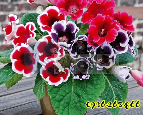 Bán Hạt hoa tử lan lan chuông tình yêu Cửa hàng hạt giống Mỹ Đình