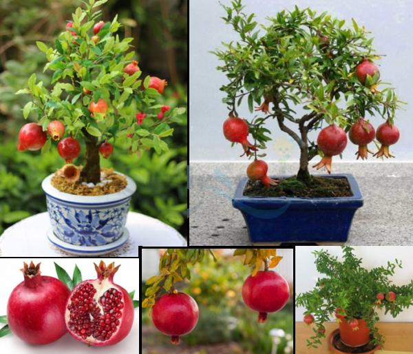 Hạt giống lựu lùn bonsai