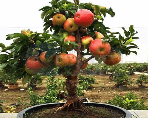 Cửa hàng bán hạt giống cây táo lùn