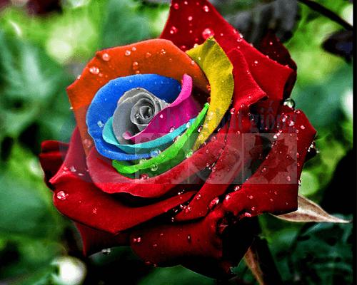 Bán Hạt giống hoa Hồng 7 màu giống Nhật nhiều màu đẹp Hà Nội tphcm