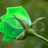 Bán Hạt giống hoa Hồng xanh ngọc Hà Nội tphcm